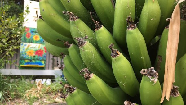 Photo of Bananas growing in Barbara's garden