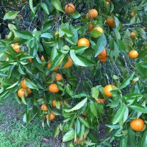 Photo of Seville oranges on the tree